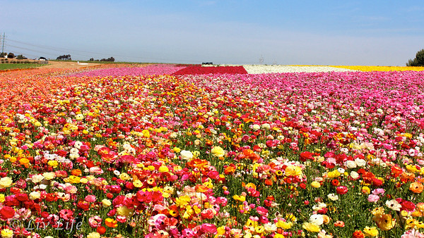 Carlsbad Flower Fields in full bloom, California