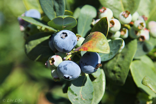Blueberries - Fairfield Farms U-Pick Organic Blueberries, Pauma Valley, CA