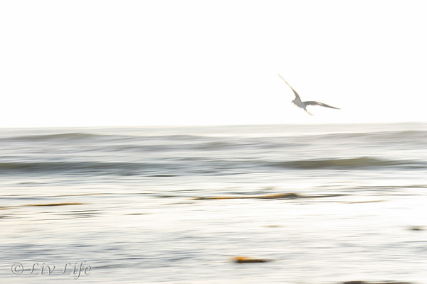Seagull taking flight over the ocean at sunset