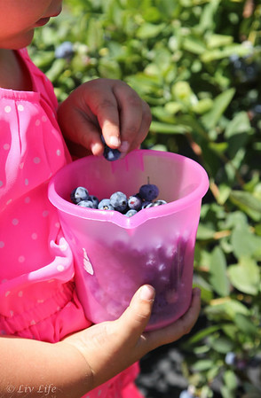 Fairfield Farms, Pauma Valley U-Pick Organic Blueberries
