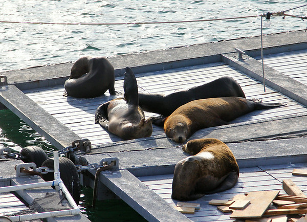Sea Lions in San Diego