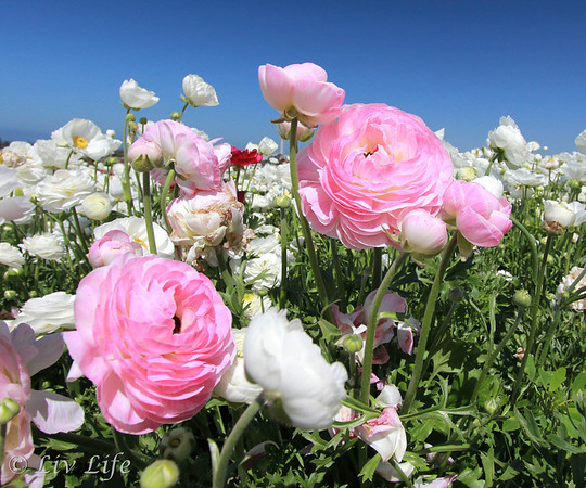Carlsbad Flower Fields, pink ranunculas and blue sky