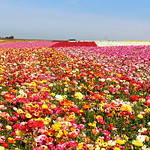 Carlsbad Flower Fields, California, San Diego, ranunculas