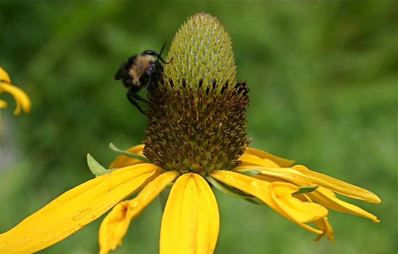 Bumble Bee on Cone Flower in Sequoia National Park